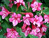 Pink Sonic Bloom Weigela - Hot Pink, Everblooming - Proven Winners - 4' Pot
