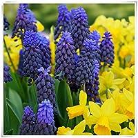 ヒヤシンスの種 ヒヤシンス球根花,さまざまな色,奇妙な花、素敵な花、豪華なバルコニーの装飾-紫の,30 球根