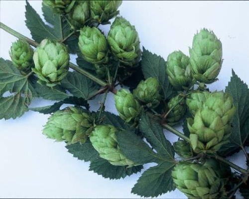 Phoenix Hop Seed * Bulk-100 Seeds * Spicy aromatisiert * Cash Crop * Bier *