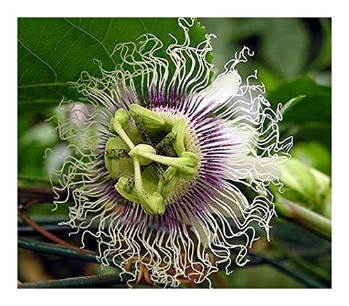 Passiflora edulis Golden giant - Fruit de la passion - 10 graines