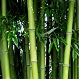 Soteer Seed House - Bamboo Gigante China Moso Bamboo (Phyllostachys edulis/pubescens) Semillas ornamentales de invierno resistentes y coloridas para su jardín y hogar