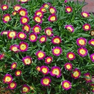 72 Delosperma Wheels of Wonder Hot Pink Wonder Ice Plants Zone 5-10