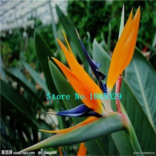 AGROBITS GGG 100pcs / pots pack. Flower jardinières Toutes sortes de couleurs Strelitzia graines de semences reginae paradis des oiseaux hybride Bonsai Graines de fleurs: