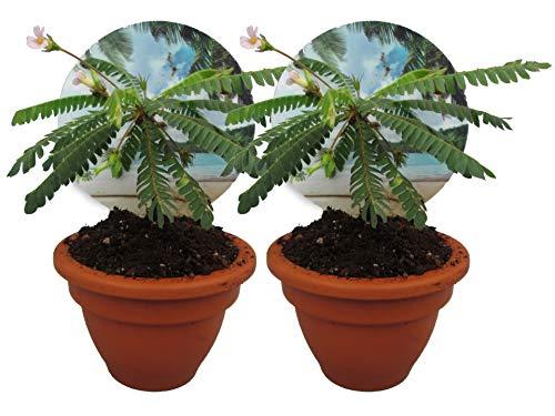 Südseepalme, (Biophytum sensitivum), im 9cm Tontopf, ideal für Kinder, die Pflanze die sich bewegt (2 Pflanzen)
