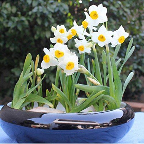 Doubleer 100pcs graines blanches de jonquille de fleur (pas les ampoules de jonquille) Bonsai Aquatic Petals Garden Plants