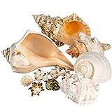 Shell Vase Filler | Imperfect Seashells Mixed Beach Seashells B Quality | 5'-8' Large and 2'-4' Small Shells | Assortment of Defective Shells for Decor | Plus Free Nautical eBook by Joseph Rains
