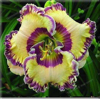 GEOPONICS 100 PC/Beutel Hybrid Taglilie Samen Bonsai Samen Hemerocallis Lily Indoor Samen Pot Home Garten Supplies 16
