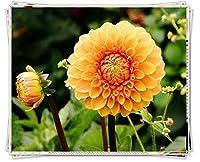 ダリア球根&植えやすい大きな香りのよい花は、新年の鉢植えのギフトとして贈ることができます,6球根