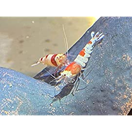 Red Bee Garnele - Caridina logemanni - Bienengarnele 20 Stk - Topbilliger Tiere