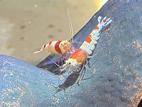 Topbilliger Tiere Red Bee Garnele - Caridina logemanni - Bienengarnele...