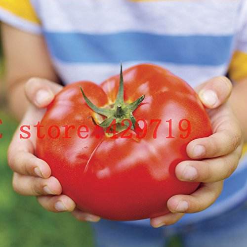 200 PC de Big Beef híbridos de tomate Semillas de vegetales y frutas semillas de tomate gigante para el jardín de NO-GMO-comprar directo de China