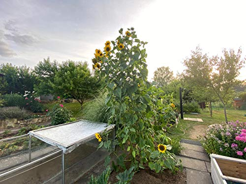 50 Samen große gelbe Sonnenblume Höhe...