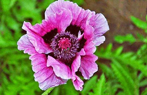 100pcs rouge de fleur de pavot graines Bonsai. Rare Papaver ORIENTALE graines en pot pour planting.semillas Décorée de jardin maison de flores 11