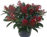 Skimmia japonica Rubella - japanische Blütenskimmie - winterharter