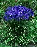25+ Agapanthe bleu Lily des graines de fleurs du Nil/vivace