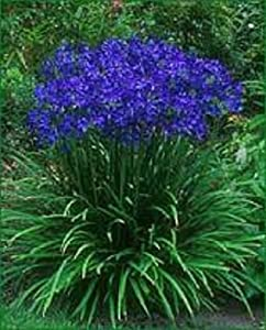 Agapanthus Blue Lily of the Nile Flower Seeds - Perennial Plant