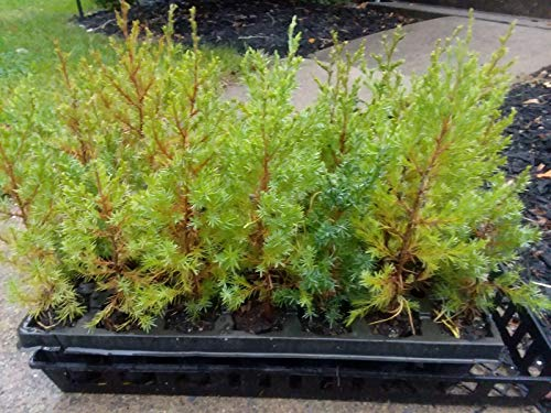 GETSO Virginischer Wacholder (östlicher rot-Zeder) - Einzelpflanzen