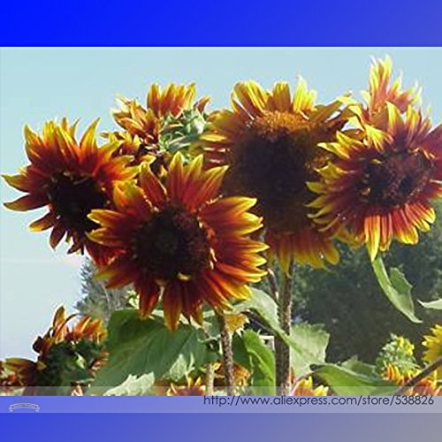 Les graines Joker Belle Bicolor ornemental de tournesol, Professional Pack, 15 graines / Pack, Blooms une belle addition à la cour