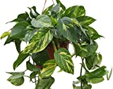Indoor Plant -House or Office Plant- Hanging Scindapsus aureus - Devil's Ivy- in a Hanging Pot