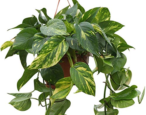 Indoor Plant -House or Office Plant-...