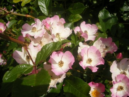 Tree Seeds Online - Rosa Canina- Chien Rose 25 Semences - 5 paquets