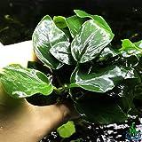 Greenpro Anubias Nana Thick Leaf Potted Live...