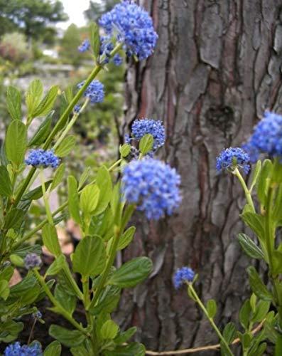 Säckelblume Victoria - Ceanothus impressus Victoria - immergrün (30-40)