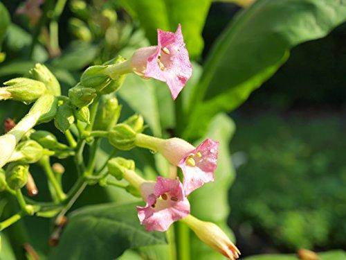 Rauchtabak Nicotiana tabacum 100 Samen