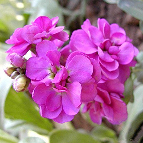 Mixed Couleur Violet (Rouge Vert Violet) Plantes de jardin Graines Matthiola Incana Fleurs Herb annuel Seed 100 particules / lot