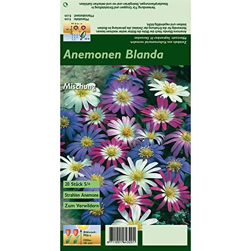 Florado 20x Strahlen-Windröschen Blumenzwiebeln, Anemone, Zwiebelblumen, Garten, Blumen Schnittblumen, Bienen Insekten, Größe 5/+