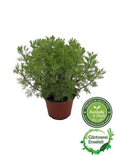Cola-Strauch, Cola-Kraut, Artemisia abrotanum var. Maritima, frische Coca-Cola Pflanze