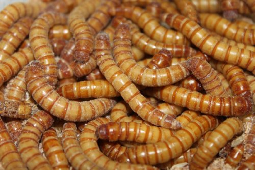 große lebende Mehlwürmer 1kg