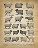 Vintage Farmhouse Wall Art Decor - Types of Sheep Prints