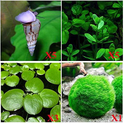 Aquatic Discounts - 5 Malaysian Trumpet Snails, 1/4-3/4 inch Plus 3 Kinds of Live Aquarium Plants! Bacopa (Background), Moss Ball (Bottom), Amazon Fr o g bit (Surface)! Perfect Enhancement for Betta!