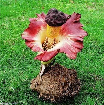 100 Stück/Bag Corpse Blütenpflanzen Wird der Titanwurz auch als bekannt: 21