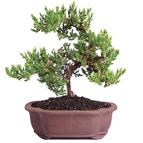 Brussel's Live Green Mound Juniper Outdoor Bonsai Tree - 5 Years Old; 6' to 10' Tall with Decorative
