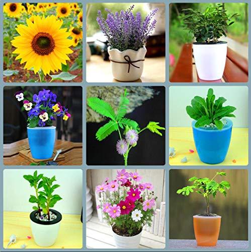 PLAT FIRM GERMINATIONSAMEN: Lavendar Geranium Rosa Moss Seedsflower Balkon Bonzai für Blumentöpfe PflanzküBel