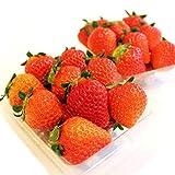 上田農園 いちご フルーツ 果物 人気 産地直送 朝摘み 宮崎県産 1.2kg (300g×4パック)