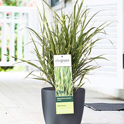 Miscanthus sinensis'Strictus' | Garten...