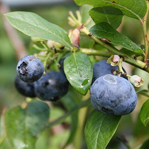Riesen Heidelbeere Goldtraube Heidelbeeren Blaubeere Vaccinium corymbosum große Früchte reichtragend TOP Qualität direkt aus der Baumschule