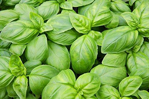 Bio - Basilic vert - graines certifiées biologiques - graines