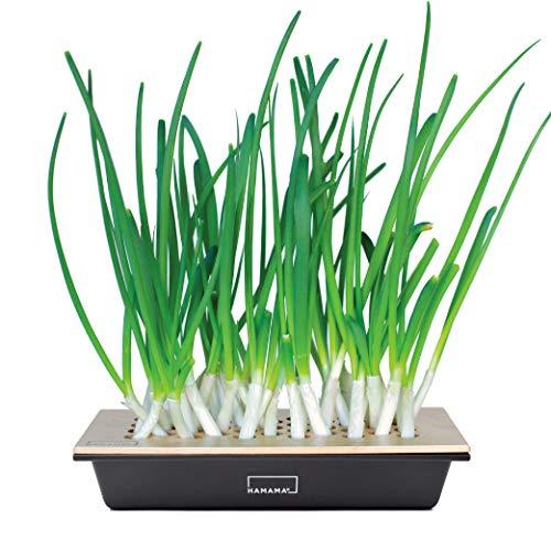 Hamama Home Green Onion Kit, Regrow Fresh Green Onions Indoors Every Week,...