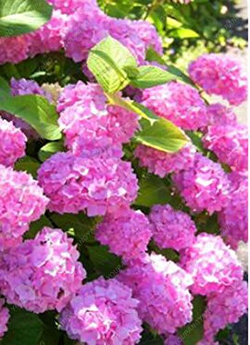 20pcs / Bolso rojo Hortensia Hortensia mezcla de semillas de flores de hortensia semillas de porcelana de Bonsai Viburnum planta en maceta para el hogar y el jardín