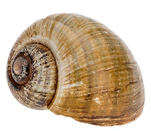 NaDeco Pomacea insularum ca.5-6cm Insel Apfelschnecke Schnecke Coracol