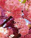 Zoom IMG-2 ciliegio ornamentale giapponese fiori di