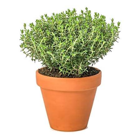Tomillo Natural con Maceta de Cerámica Thymus Vulgaris Planta Aromática para Cocinar