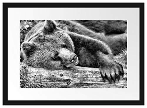 Picati Bär schläft auf Baumstamm Bilderrahmen mit Galerie-Passepartout/Format: 55x40cm / garahmt/hochwertige Leinwandbild Alternative