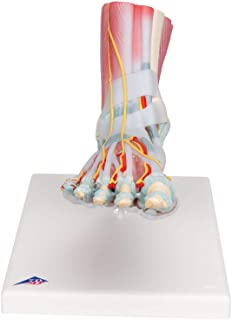 3B Scientific M34/1 Foot Skeleton w/ Ligaments and Muscles - 3B Smart Anatomy
