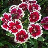 100 STÜCKE Mehrjährige Dianthus Blumensamen Blumensamen Pflanze Hausgarten Dekorative Pflanzen Samen Einfach Zu Wachsen DIY Ornamente