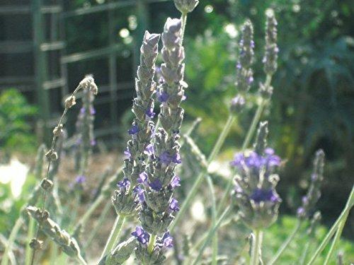 P076X01. 1 Plant of Lavender Goodwin Creek Gray